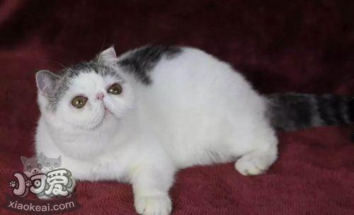 如何让加菲猫乖巧听话 加菲猫训练技巧