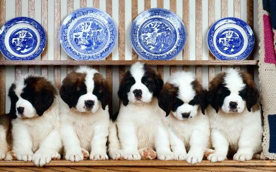 圣伯纳犬怎样训练 圣伯纳犬训练方法视频分享1