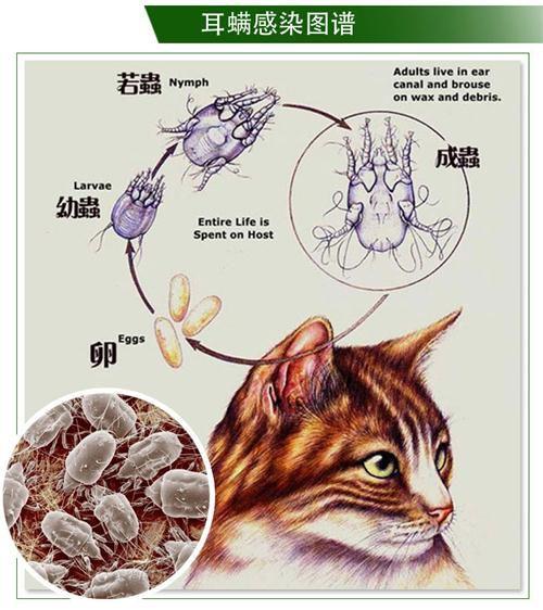 猫咪耳螨怎么治疗 猫咪得耳螨的原因介绍