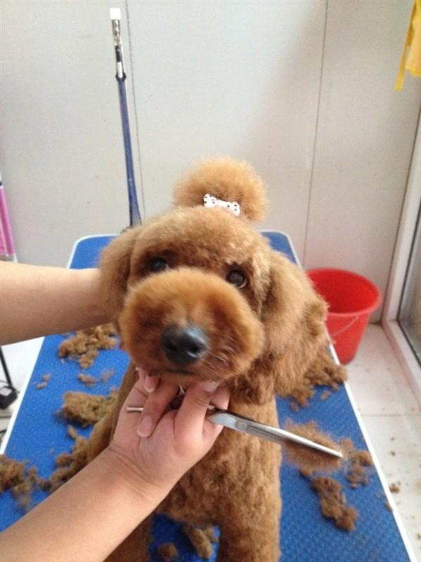泰迪犬怎么修毛视频教程 泰迪犬修毛注意事项1