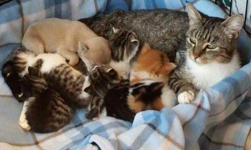 猫咪产后缺钙怎么治疗 宠物猫咪产后缺钙症状