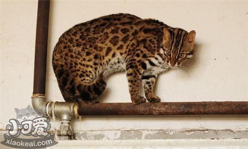 奥西猫尿频怎么办 奥西猫尿频解决办法