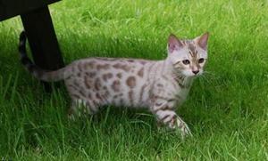 热带草原猫怎么养 薮猫饲养注意事项