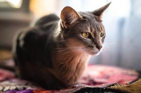 阿比西尼亚猫怎么训练 阿比西尼亚猫训练注意事项