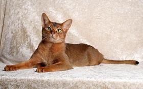 阿比西尼亚猫咬人怎么办 阿比西尼亚猫不咬人训练