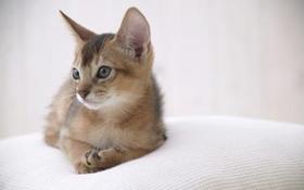阿比西尼亚猫上厕所怎么训练 阿比西尼亚猫上厕所教学