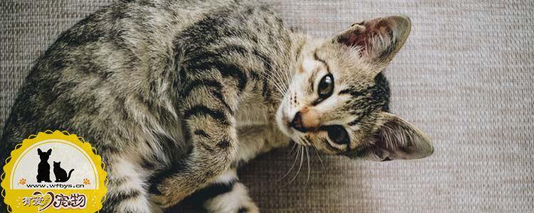 猫黑巴怎么办 猫黑下巴可以自愈吗?