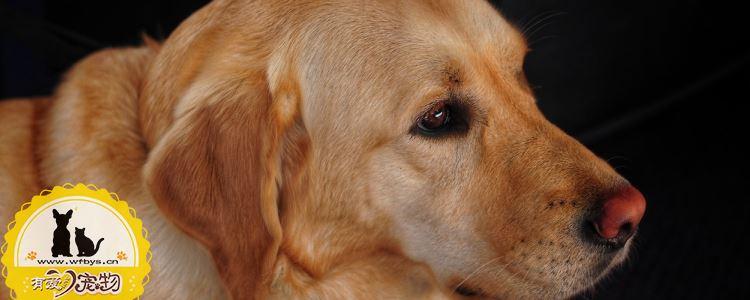狗狗怀孕多久生 生产时我们该怎么做