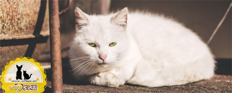 猫发情的特征是什么 给猫绝育有什么好处