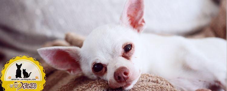 狗狗怀孕的时候会出现什么症状 狗狗怀孕周期表