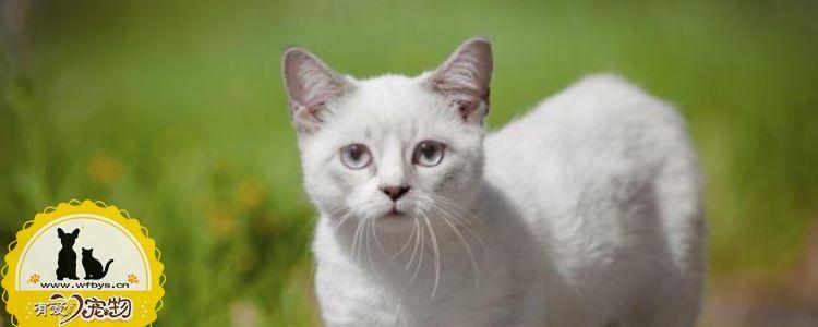 曼基康猫绝育要注意什么 曼基康猫绝育重点注意以下几点!