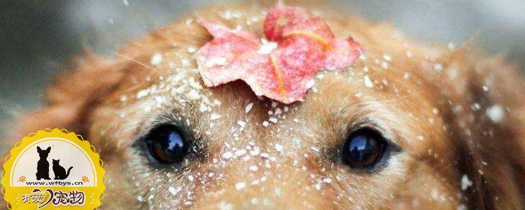 狗狗感冒了怎么办 狗狗感冒的症状有哪些