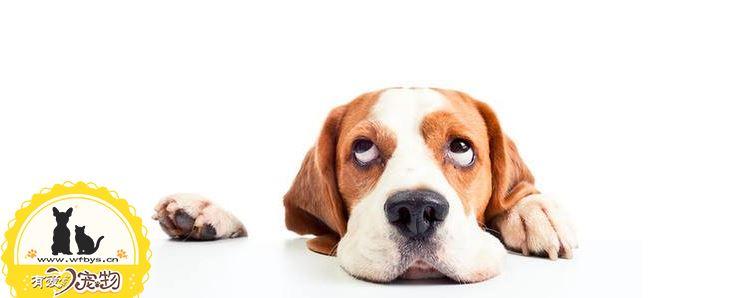 狗狗鼻子褪色什么原因 该如何恢复