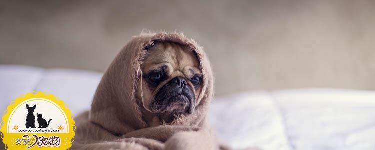 狗狗打完疫苗为什么发烧、没精神 狗狗打完疫苗过敏症状