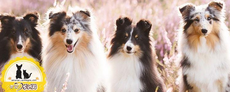 犬瘟热的症状 犬瘟热的防治