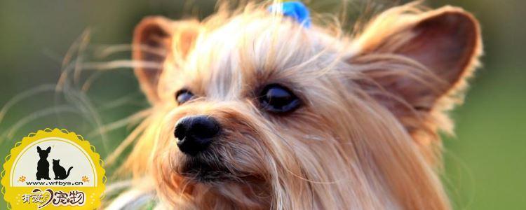 约克夏感冒是什么症状 这几点可以判断狗狗健康状态