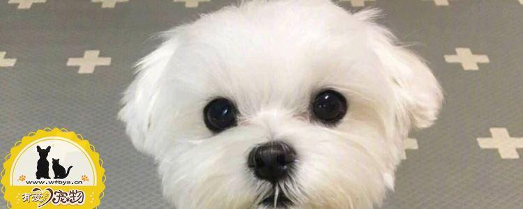 犬传染性肝炎传染人吗 犬传染性肝炎的症状