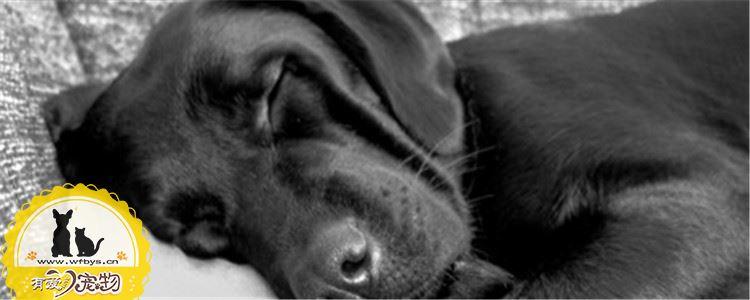 狗狗鼻子干燥怎么回事 狗狗鼻子干燥的原因有什么