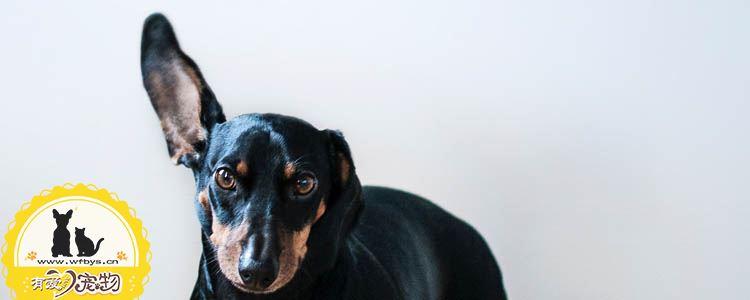 狗细小症状 狗得了细小会不会传染给人