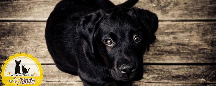 狗鼻子褪色是怎么回事 狗狗鼻子褪色要怎么恢复