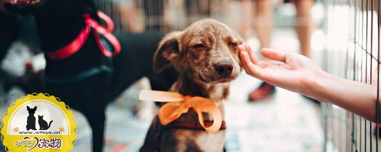 狗狗患犬窝咳症状 患犬窝咳一定会死吗