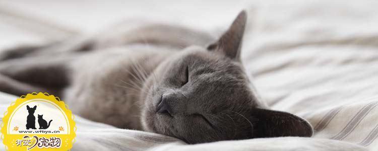 俄罗斯蓝猫和英国蓝猫的区别 俄罗斯蓝猫和英短蓝猫