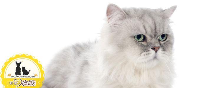 渐层猫的品相 渐层猫的特征是什么