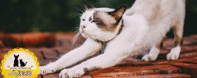 金渐层猫该如何挑选 英短金渐层怎么挑选