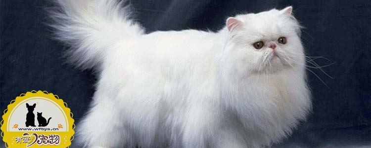 怎么选银渐层猫咪 银渐层小时候怎么选