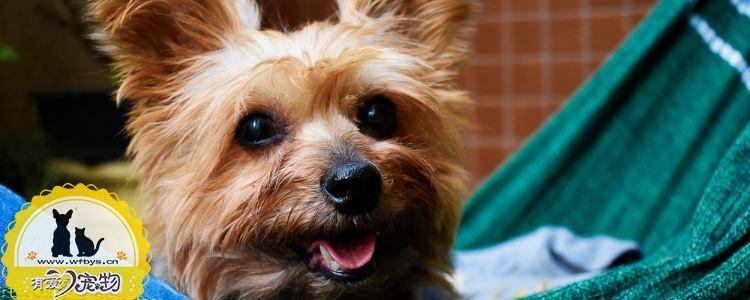 狗狗发烧症状 狗狗发烧怎么处理