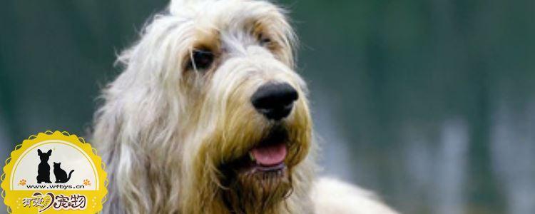猎水獭犬呕吐怎么处理 猎水獭犬呕吐的处理办法