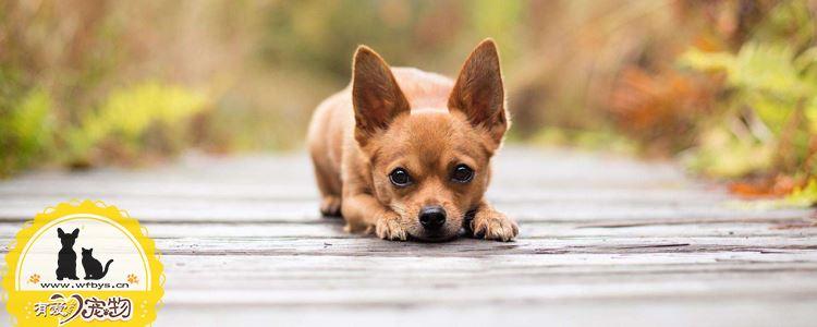 狗狗咳嗽是怎么回事 狗狗咳嗽病症大全