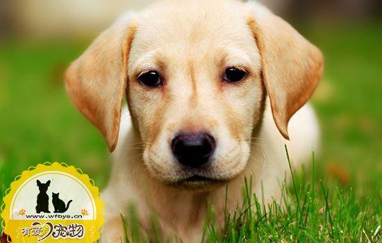 狗狗倒睫毛怎么处理 倒睫毛是会让狗狗失明的