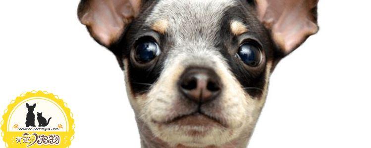 狗狗疫苗失败原因 你该引起重视了
