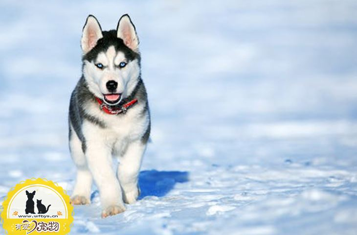 狗狗角膜炎多久能恢复 取决于严重程度和就医情况