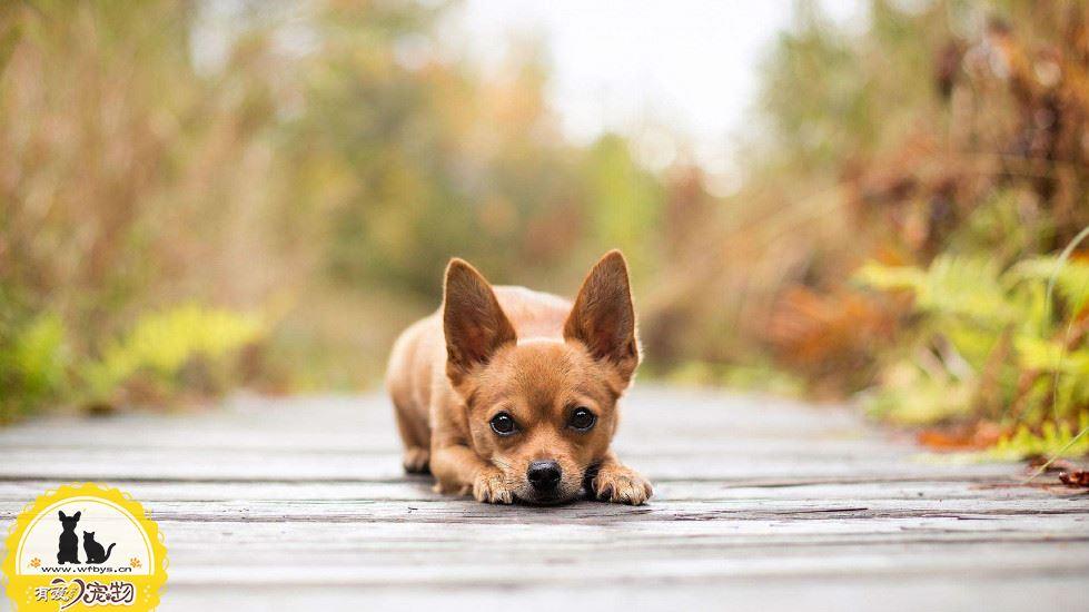 狗狗呕吐怎么回事 五大常见症状及治疗方式