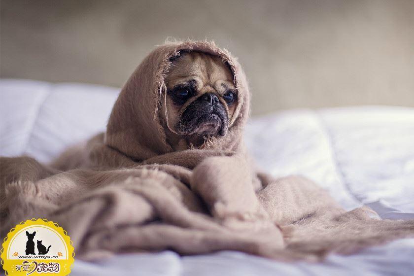 狗狗感冒和细小的区别 如何判断狗狗是感冒还是患了细小
