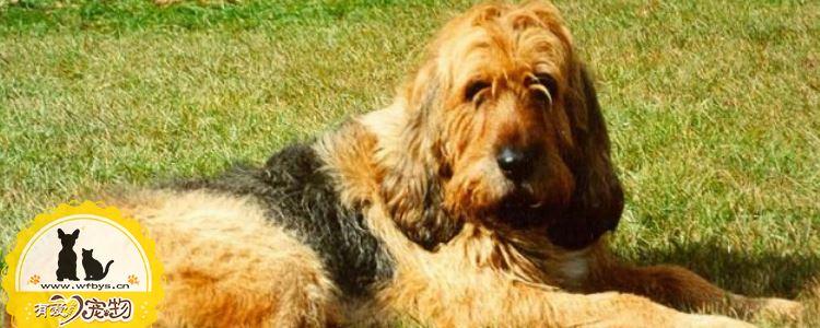 奥达猎犬有牙结石怎么办 奥达猎犬牙结石的清理办法
