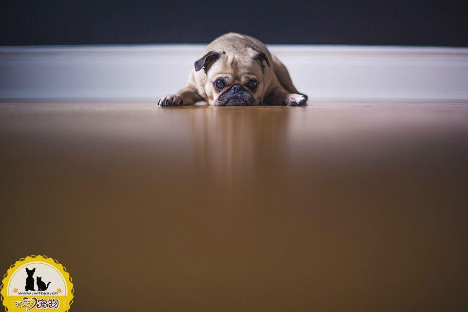 狗狗感冒呕吐怎么办 家庭治疗手册