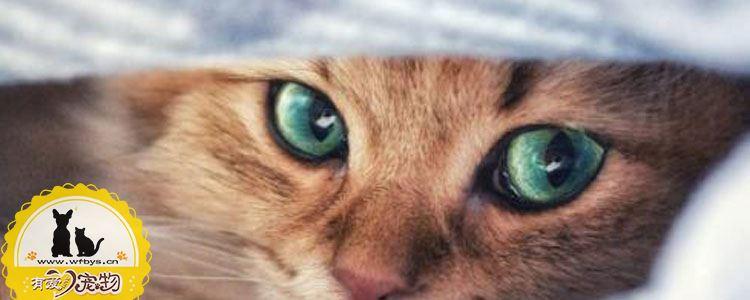 猫艾滋是什么 猫艾滋病会传染给人吗
