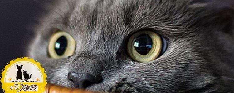 英国短毛猫得了猫藓怎么办 有什么要注意的