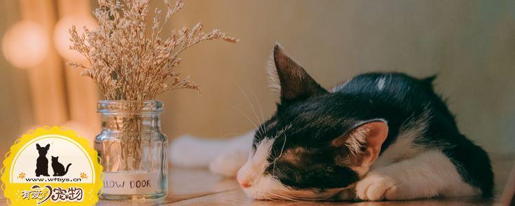 猫中暑了怎么办 猫咪中暑急救手册