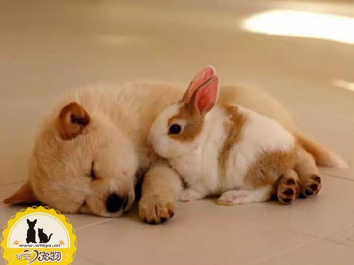 狗狗感冒咳嗽可能患了犬窝咳 你了解犬窝咳吗