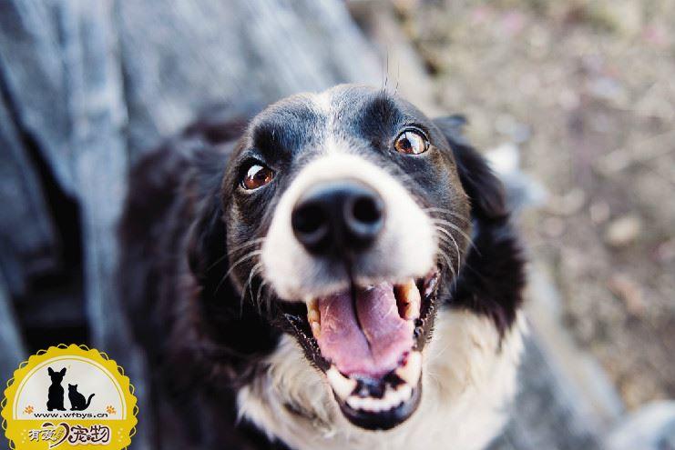 狗狗感冒和犬瘟的区别 如何准确判断狗狗感冒还是犬瘟