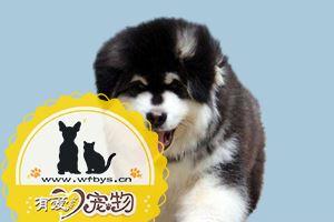 阿拉斯加感冒了怎么办 阿拉斯雪橇犬加用药介绍