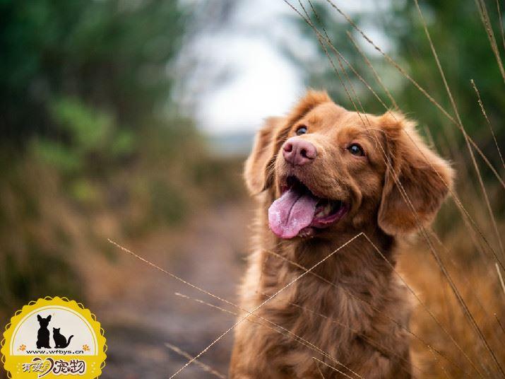 狗狗呕吐没精神 应警惕细小和犬瘟