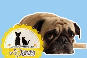 狗狗感冒的症状有哪些 狗狗感冒症状及治疗方法