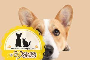 狗狗细小病毒怎么治疗 狗狗细小病毒治疗方法