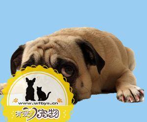 狗狗得犬瘟的初期症状