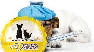 狗感冒发烧吃什么药好 狗感冒发烧用药介绍